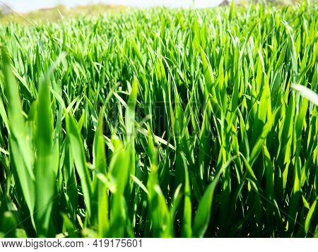Beautiful Lush Green Grass In The Meadow Or Field. Winter Wheat Has Grown On Farmland. Sunny Weather
