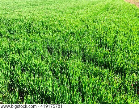 Beautiful Green Wheat Field In Countryside. Green Wheat Field. Green Sprouts Of Wheat In The Field.
