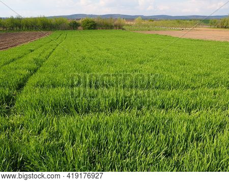 Beautiful Green Wheat Field In Countryside. Green Wheat Field. Green Sprouts Of Wheat In The Field.