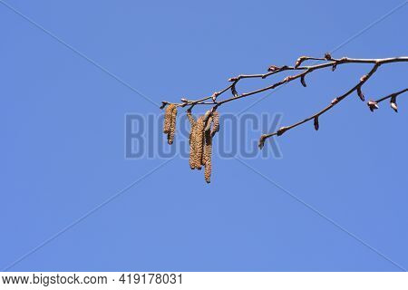 Common Hazel Branch With New Leaves And Flowers - Latin Name - Corylus Avellana