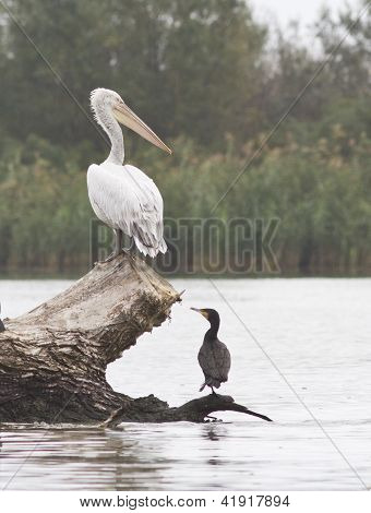 Young Dalmatian pelican and cormorant sitting on a flooded tree trunk. poster