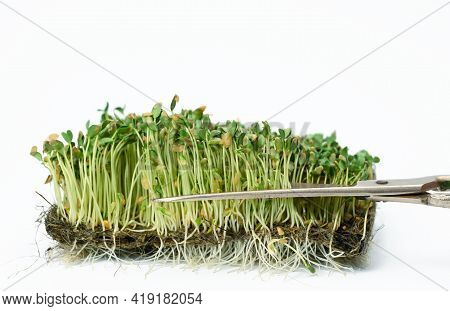 Green Flax Sprouts On A White Background, Useful Microgreen On A White Background, Close Up