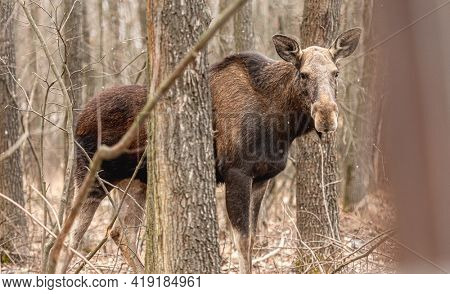 Portrait of young majestic elk standing in the wood under the tree and looking at the camera