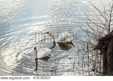 Wo White Swans On The Water In The Lake At Sunset