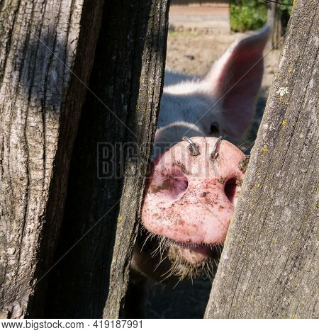 Pih Stare Between Old Wood Planks Of Pig Pen With Wires In Snout Not To Dig The Earth, Sunny Day In