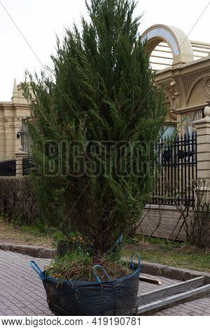 Large Thuja For Sale In A Shopping Bag