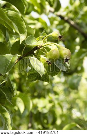 Small Pears On A Tree Branch In The Garden.