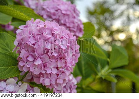 Blossoming Hydrangea Or Hortensia Flowers. Gentle Franrance And Fragile Fresh Warm Pink And Violet P