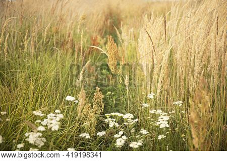 Beautiful Abstract Nature Landscape With Meadow Grass And Cereals Soft Focus Background