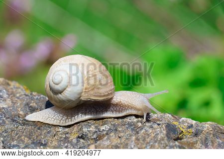 Big Snail Crawling On The Stone, Spring Day In The Garden. The Common Garden Snail In The Shell Is A
