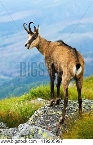 Tatra Chamois Panting On Rocks In Summertime Nature