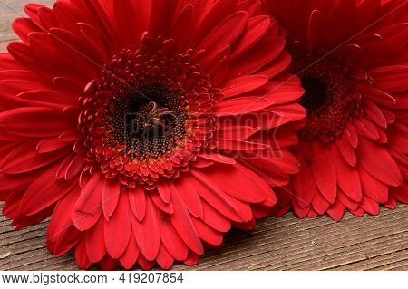 Very Nice Colorful Red Gerber Flower Close Up