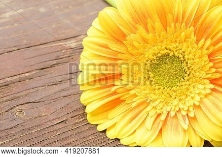 Very  Nice Colorful Yellow Gerber Flower Close Up