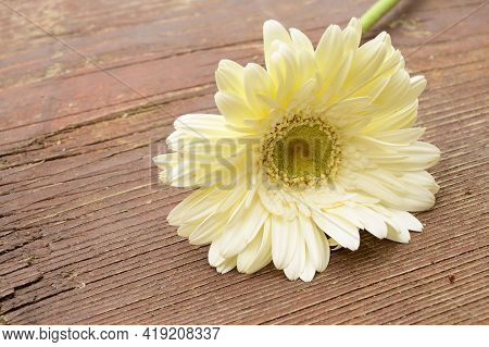 Very Nice Gerber Flower Close Up In The Sunshine