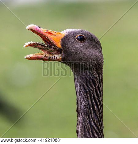 Head Shot Of A Hissing Greylag Goose, Anser Anser. The Greylag Goose Is A Species Of Large Goose In