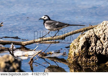 The White Wagtail, Motacilla Alba Is A Small Passerine Bird In The Family Motacillidae. Seen In The