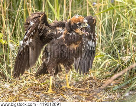 Western Marsh Harrier (circus Aeruginosus) Juvenile Chick In Nest And Begging For Food