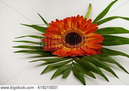 Very Nice Colorful Gerber Flower And Green Leaf