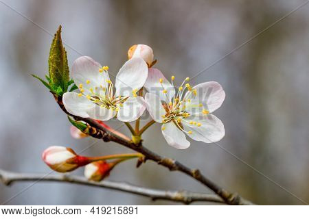 Close Up Of A Blossom From A Prunus Americana, Commonly Called The American Plum And Wild Plum, Duri