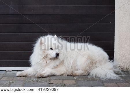 White Fluffy Old Samoyed Dog Portrait Outside