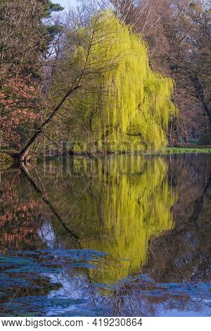 Calm Surface Of The Pond. Above The Surface Are The Branches Of The Willow Tree. The Trees Are Refle