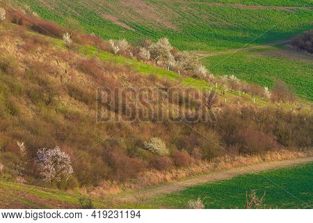 Hilly Landscape With Flowering Trees. Grain Begins To Grow In The Rolling Fields.
