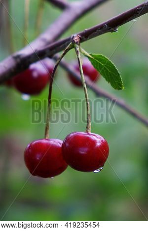 Two Ripe Cherries With Dew Drops Hang On A Branch, Close-up. Ripe Juicy Berries On A Blurred Backgro