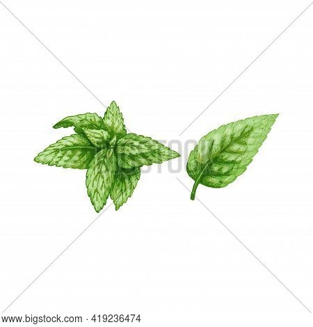 Mint Fresh Green Branches And Leaves. Vintage Vector Hatching Color Hand Drawn Illustration Isolated