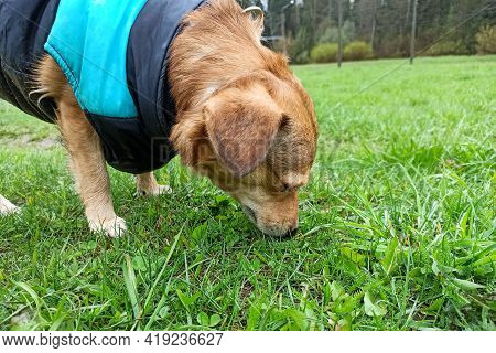 Ginger Dog In A Jacket Sniffs The Grass Close Up
