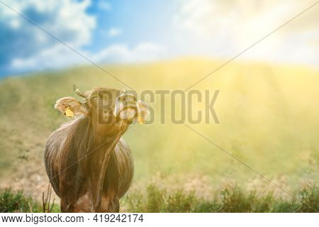 The Bovine Enjoys The Sunshine And Fresh Air. Bull On A Green Meadow Under A Blue Cloudy Sky. Cow Wi