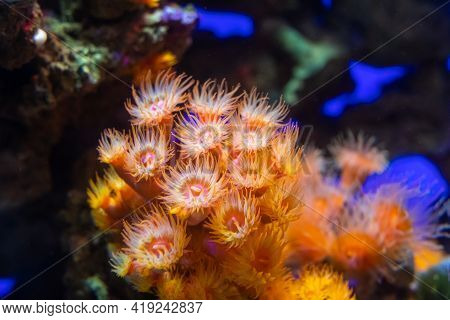 Anemones. Polyps And Corals Of The Red Sea. Warm Seas And Marine Life Of The Coral Reef