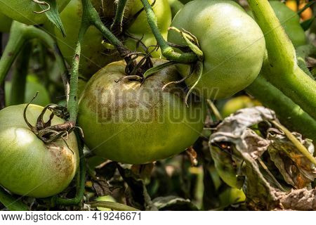 Unripe Tomatoes Affected By Late Blight. Phytophthora Infestans. Selective Focus.