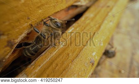 Bees Fly Out Of The Hive In Spring, First Flyby. Honey Bees Flying Into Wooden Beehives. Bees Fly Ou