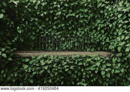 Syringa Vulgaris Common Lilac Plants Green Leaf Hedge Background, Old Aged Dark Gray Weathered Woode