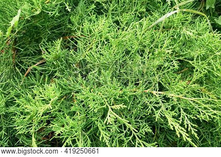 A Texture Of Green Hedge Thuja Trees.
