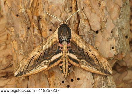 Closeup Of A  Privet Hawk Moth, Sphinx Ligustri On Wood