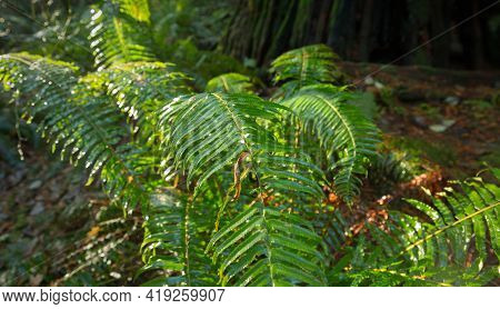 Damp Forest Ferns. Ferns On A Temperate Rainforest Floor Of The Pacific Northwest.