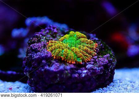 Sun Stone Rare Rhodactis Soft Mushroom Coral
