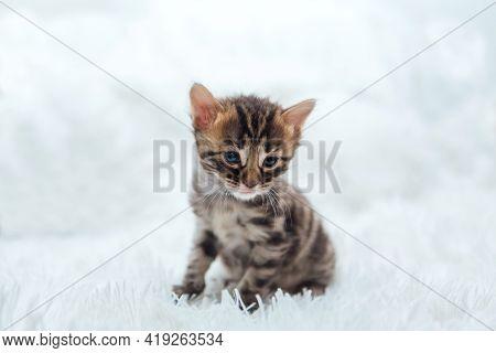 Cute Dark Grey Charcoal Bengal Kitten On A Furry White Blanket.