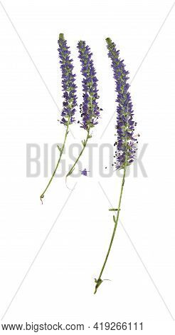 Pressed And Dried Flowers Veronica Spicata. Isolated On White Background. For Use In Scrapbooking, F
