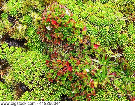 Close Up Of Cushion-forming Plants. In Cajas National Park Of Ecuador It Grows In The Cushion Páramo