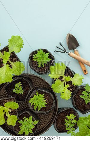 Young Flower Petunia Seedlings In Small Plastic Pots On Blue Background. Seedling Cultivated Indoor