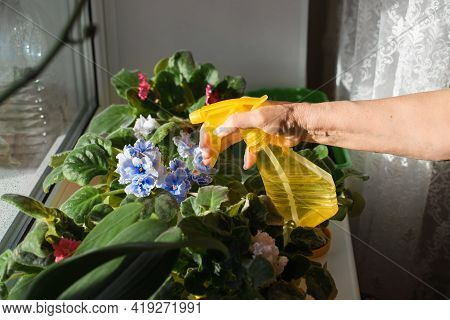 Senior Woman Caring For Plants Indoors On A Sunny Day. Housewife Spraying Flowers Blue And Red Viole