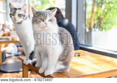 Cute Cats On Wood Table In Cat Cafe. Cat Cafe Is A Theme Cafe Whose Attraction Is Cats That Can Be W