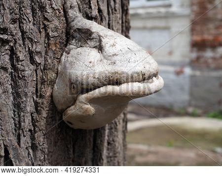 Chaga On The Birch, Mushrooms On The Tree, Birch Bark, Birch Trunk.