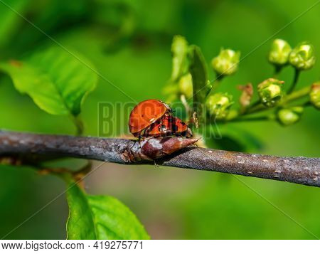 Spring Mating Season Of Ladybug Insect Beetle. Ladybug Beetle. Reproduction Of Insects. The Mating S
