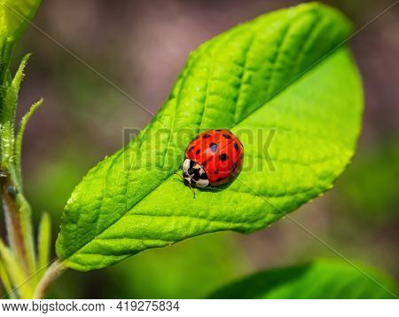 Red Insect Beetle Ladybug On A Green Leaf Of A Tree. Ladybug Beetle. Green Foliage Of Trees. Natural
