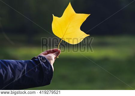 Yellow Leaf In The Girl's Hand Close-up. Woman Holds A Yellow Maple Leave At Arm's Length In Autumn