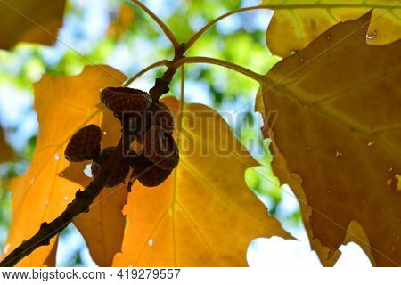 Acorns. Background Yellow Oak Leaves And Acorn On A Branch. Close-up Of An Oak Branch With Yellow Dr
