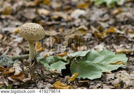 Macrolepiota Procera. Mushroom In Autumn Forest And Dry Leaves. Mushroom Parasol Shooting Out Of The